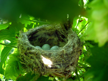 Bird's nest in hops