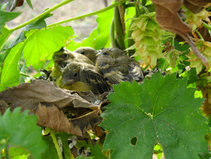 Hops eggs become birds