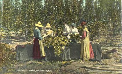Picking hops in New York
