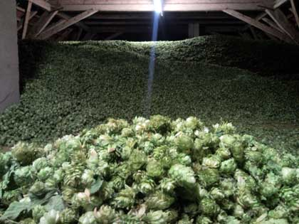 Hop at the Seitz farm in Halltertau
