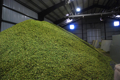 55,000 pounds of hops at Loftus Ranches